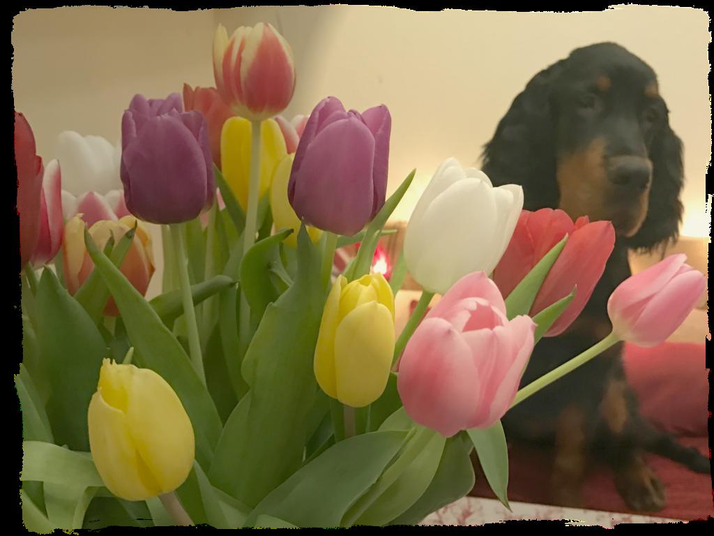Brando tulip
